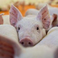 La hora de los cerdos