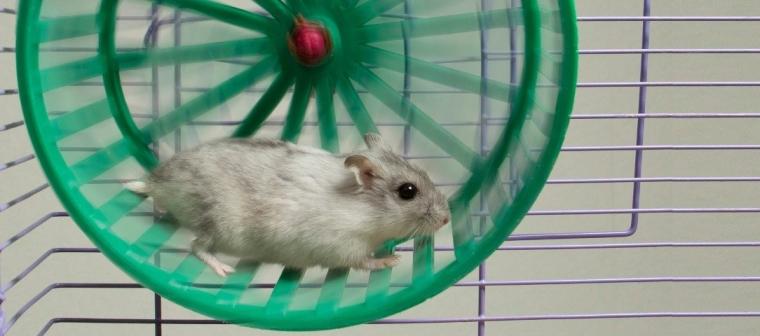 hamster y la rueda
